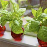 A Wonderful Recipe: Fresh Basil Plants 12 for $2.50!!!