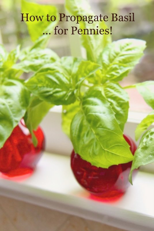 How to Propagate Basil - Grow fresh basil all summer in your garden!