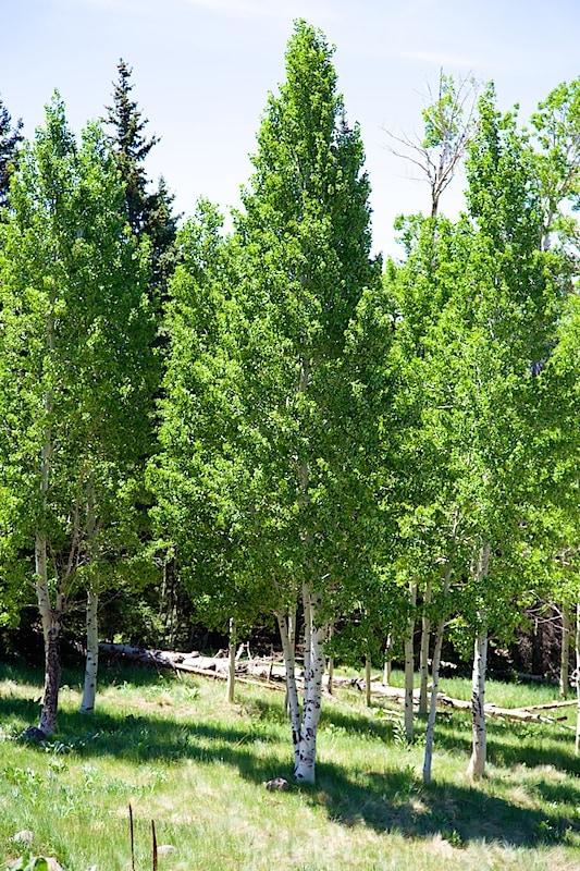 Flagstaff Aspen trees