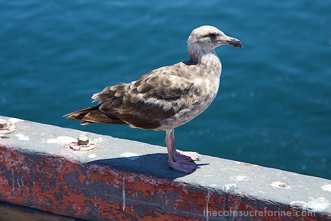 Monterey sea gull