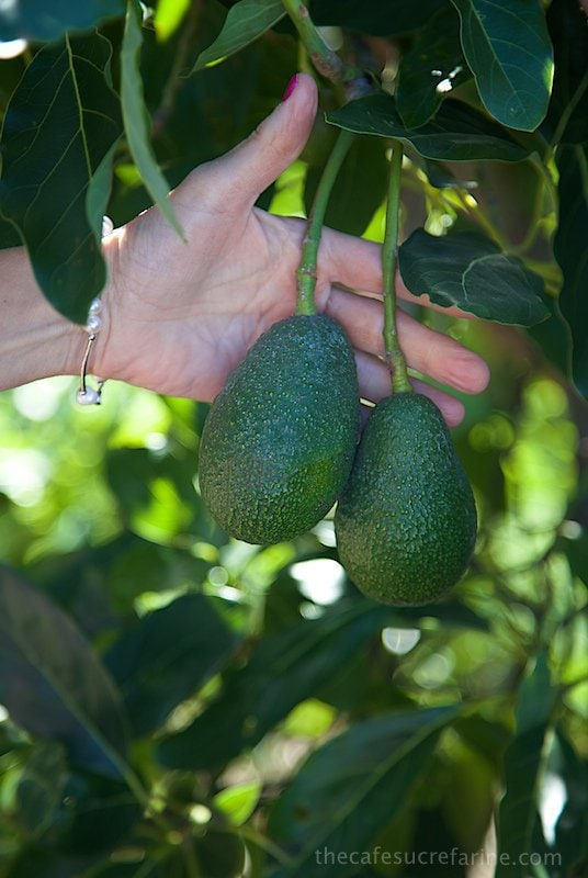 How Avocados Grow. California Avocado Groves.
