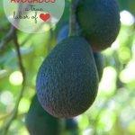 How Avocados Grow – A California Avocado Ranch Tour