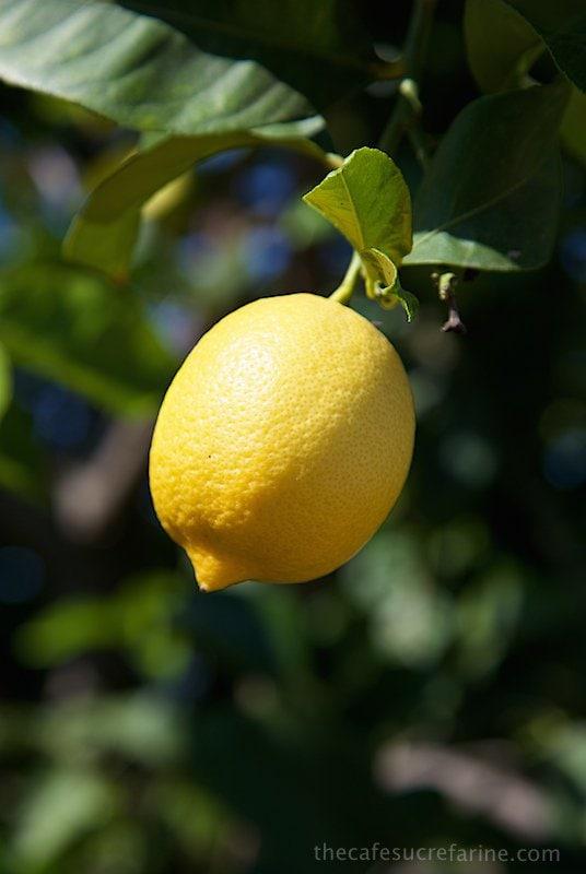 How Avocados Grow. California Avocado Groves, lemon tree.