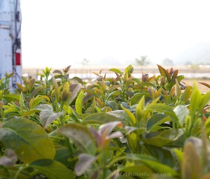 How Avocados Grow. California Avocado Groves.