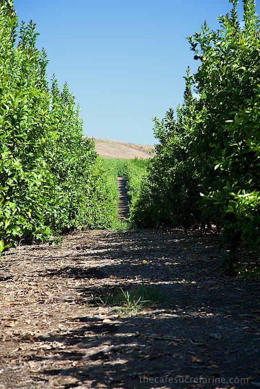 How Avocados Grow. Avocado groves.