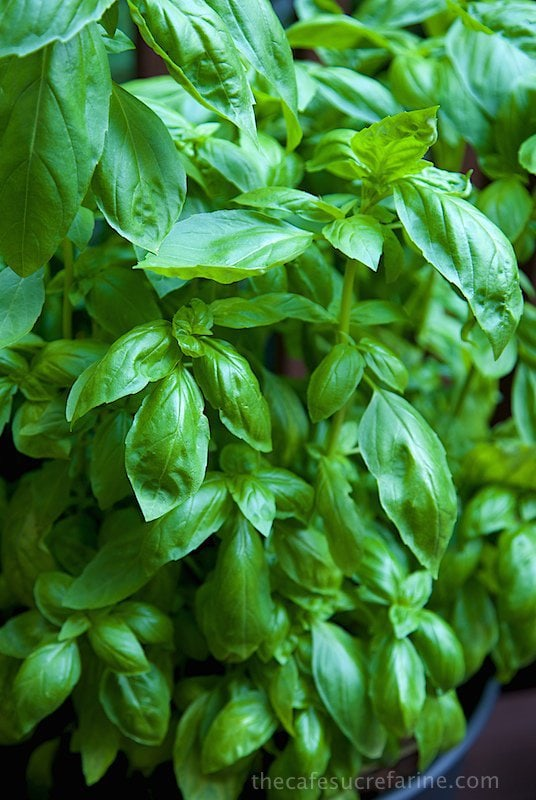 Basil. So prolific (if you know what to do with it), so delicious!