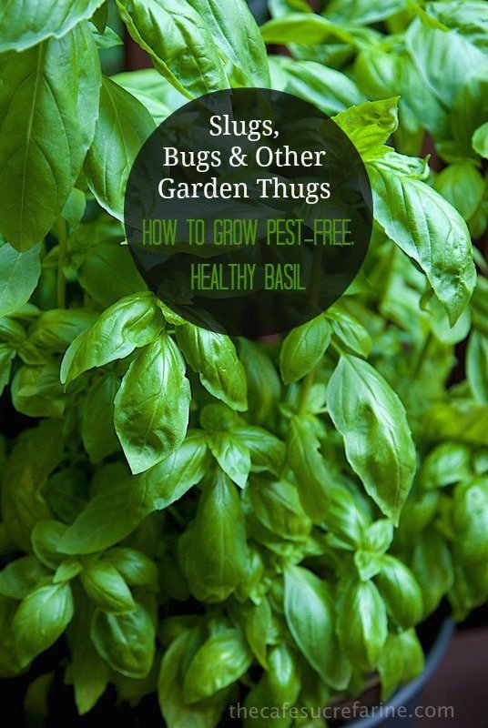 how to grow pest free healthy basil. Black Bedroom Furniture Sets. Home Design Ideas
