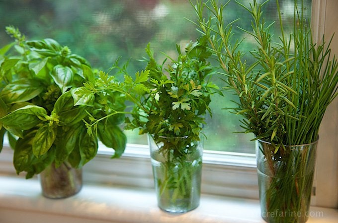 Horizontal photo of three small vases of herbs being rooted in water.