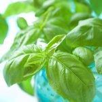 How to Propagate Basil from Cuttings
