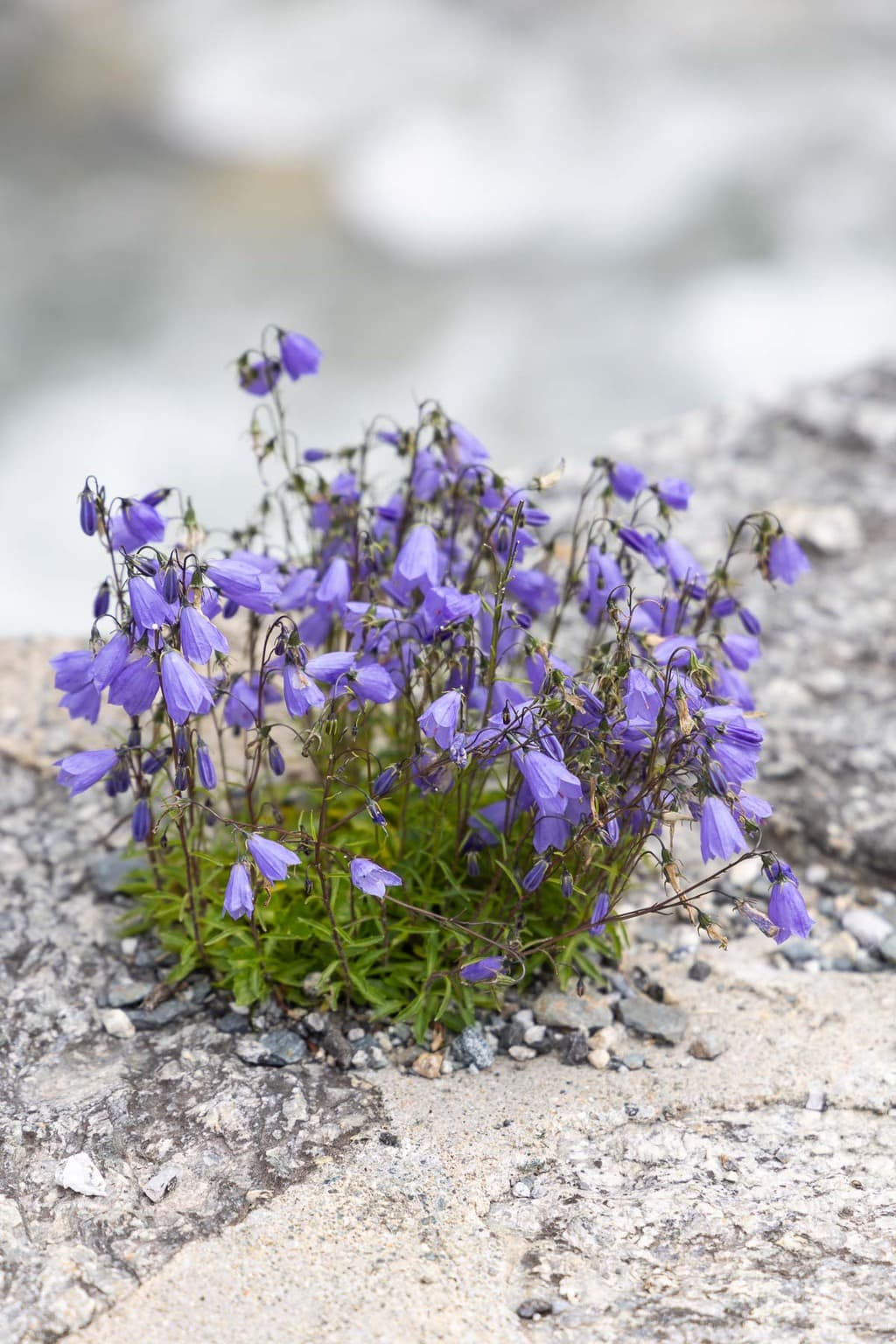Vertical closeup photo of purple flowers growing out of a rock wall in Argentiére, France.