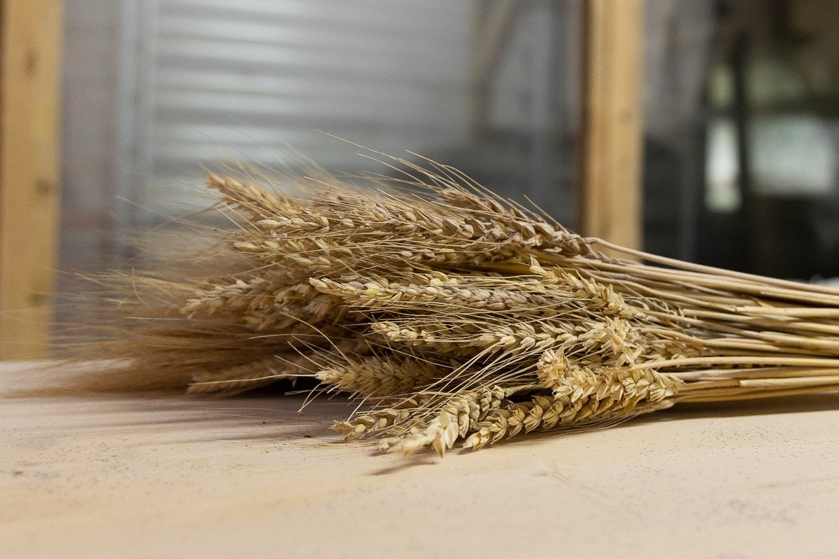 Horizontal closeup of a bundle of Gérard Berrux's heirloom wheat.