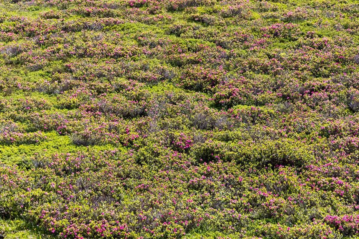 Horizontal photo of wild azaleas growing in the mountain meadows above Le Tour, France.