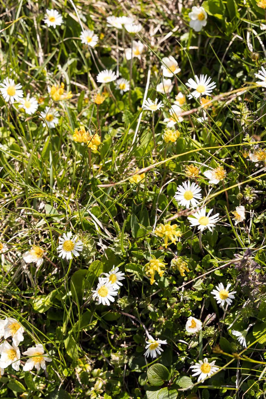 Vertical photo of wildflowers growing in the Alpine meadows above Le Tour, France.