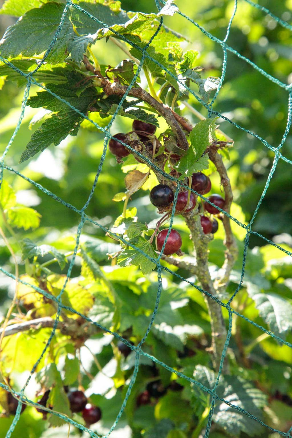 Photo of black currents on the plant protected by bird-resistant netting at Ballymaloe Farm.