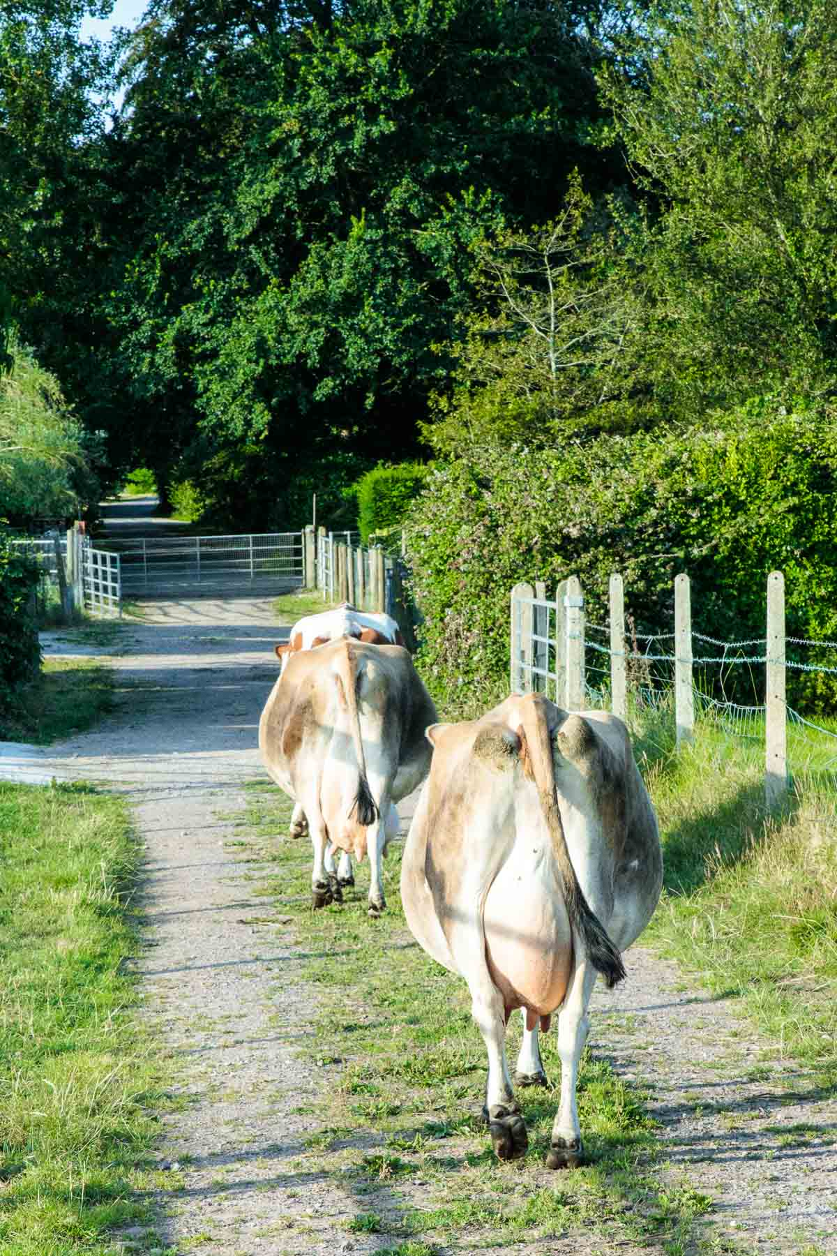 Photo of Guernsey cows heading to the milk house for the day's milking.