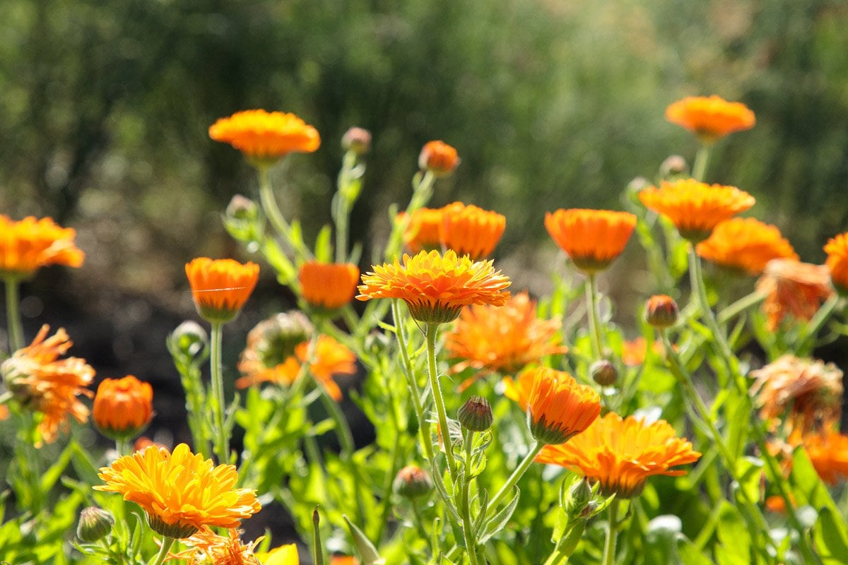 Closeup photo of flowers in the Ballymaloe Cookery School gardens in Shanagarry, Ireland.