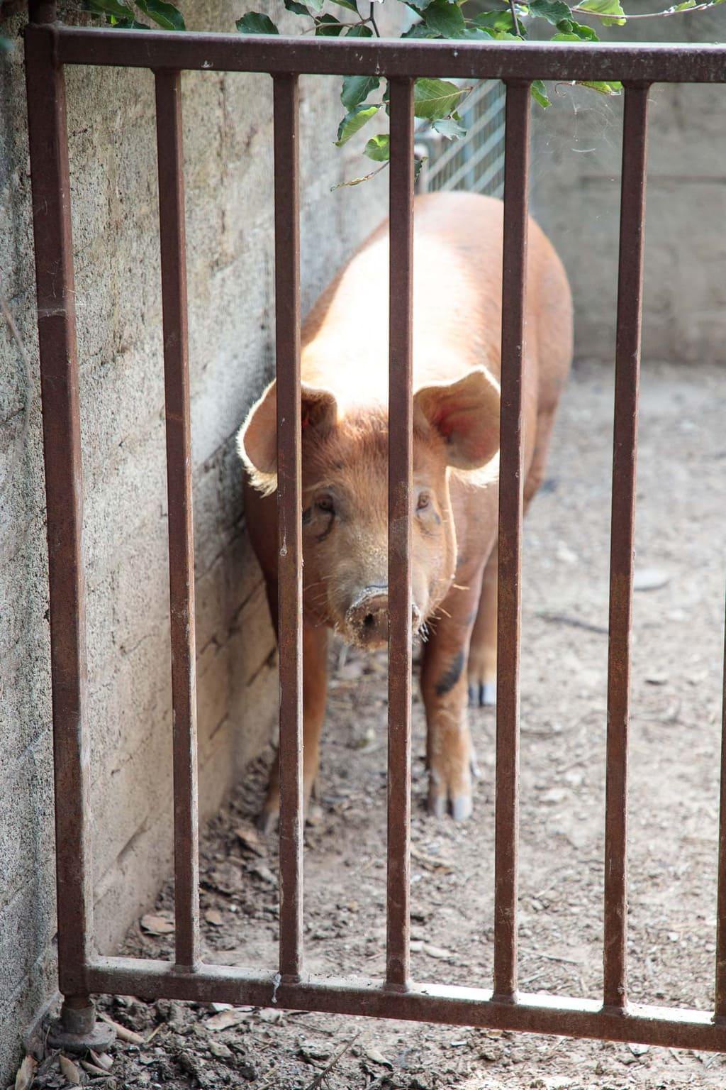 Photo of a happy organic pig from Ballymaloe Farms.