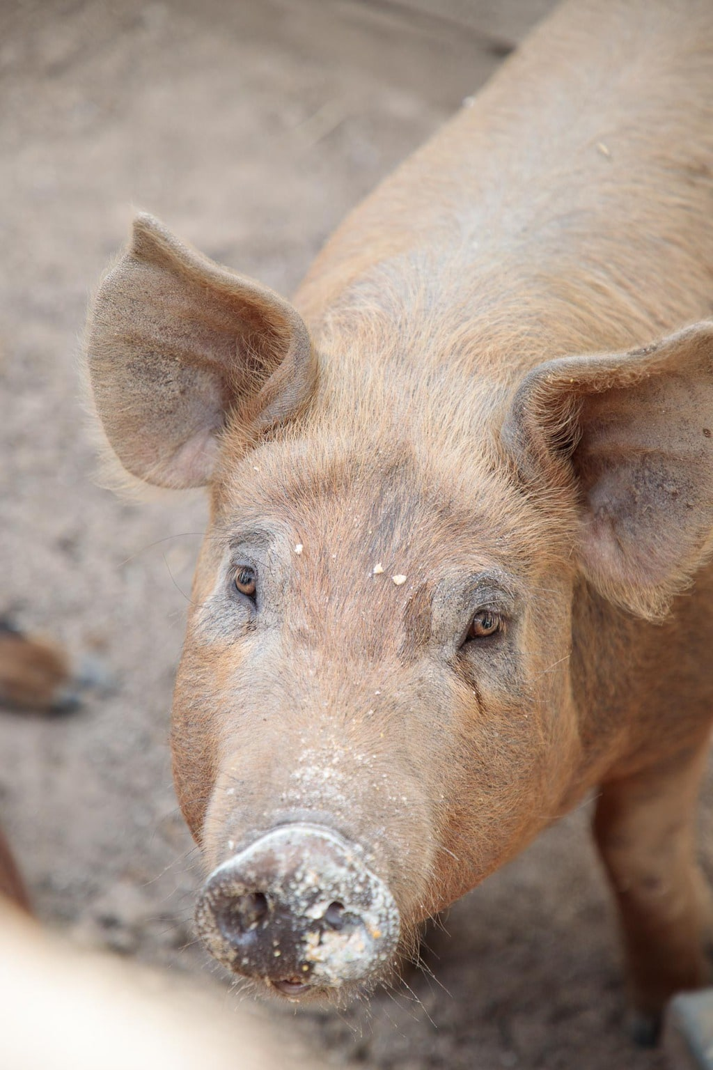 Closeup of a pig from Ballymaloe Farms.