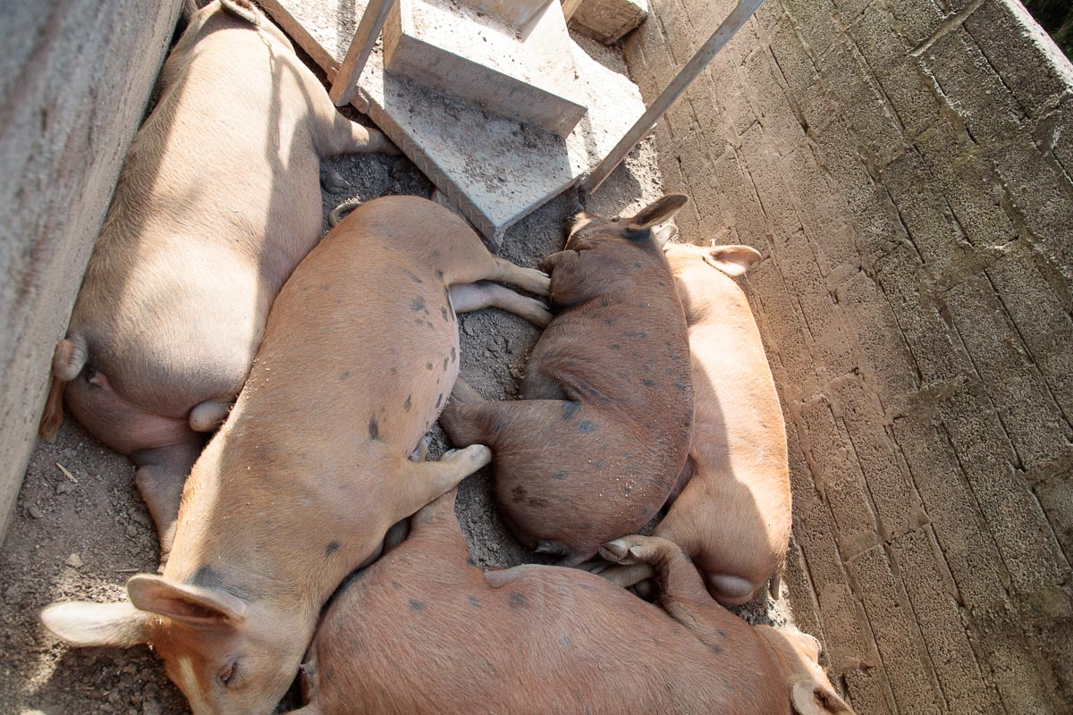 Photo of five Ballymaloe pigs enjoying the coolness of a concrete quarters.