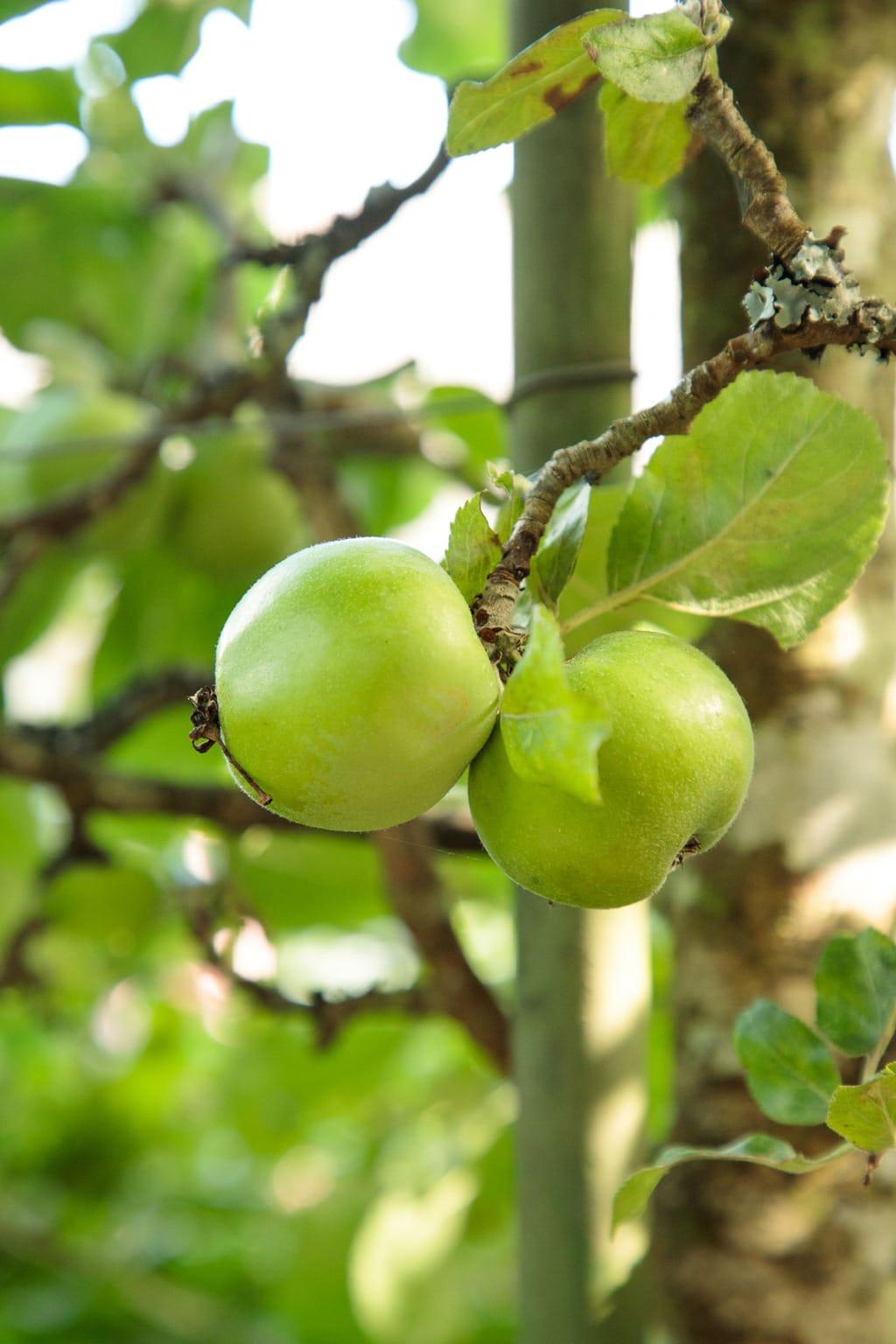Ultra closeup photo of apples on an apple tree at Ballymaloe Farm.