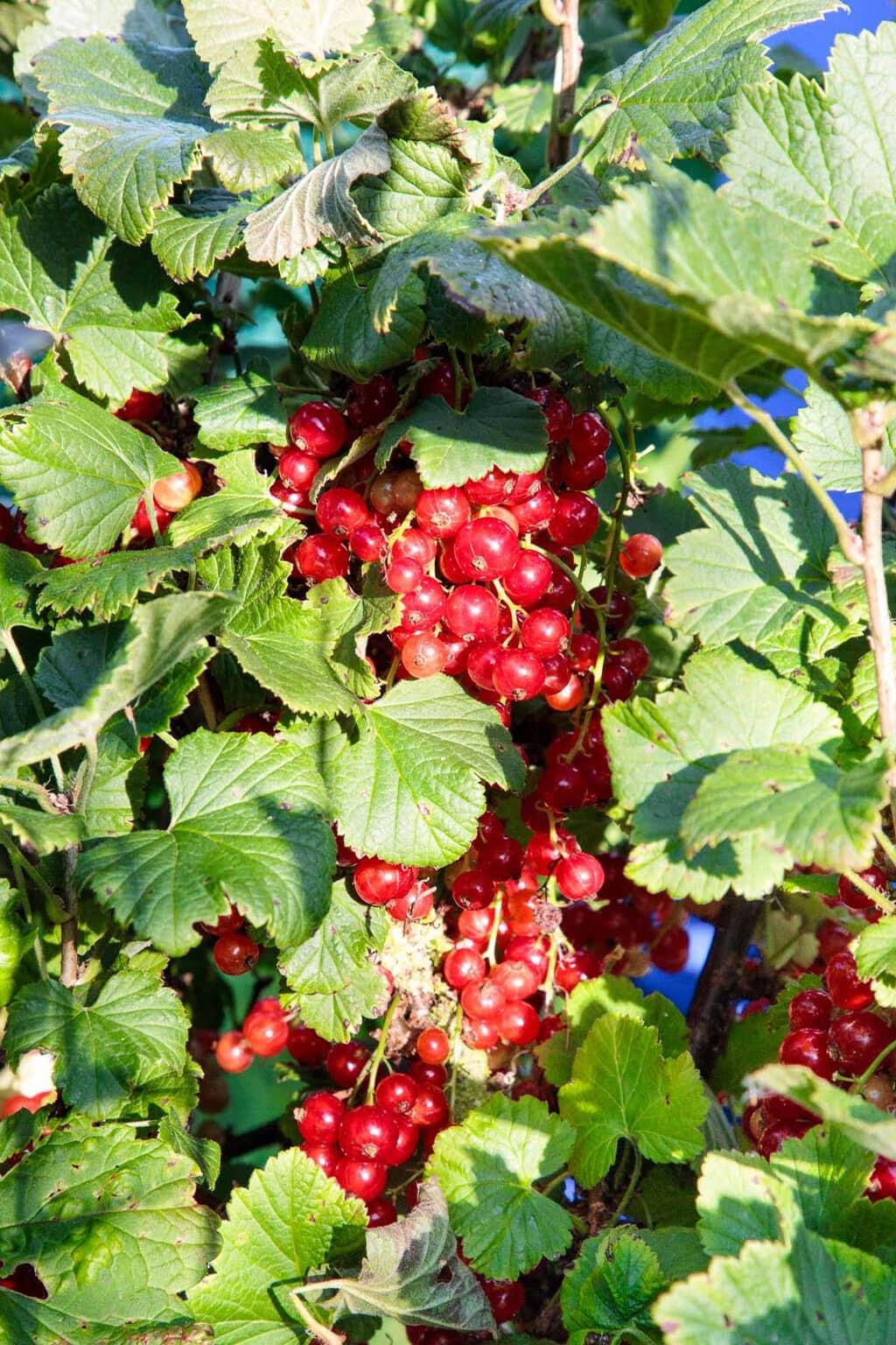Closeup photo of fresh ripe red currants at Ballymaloe Farm.