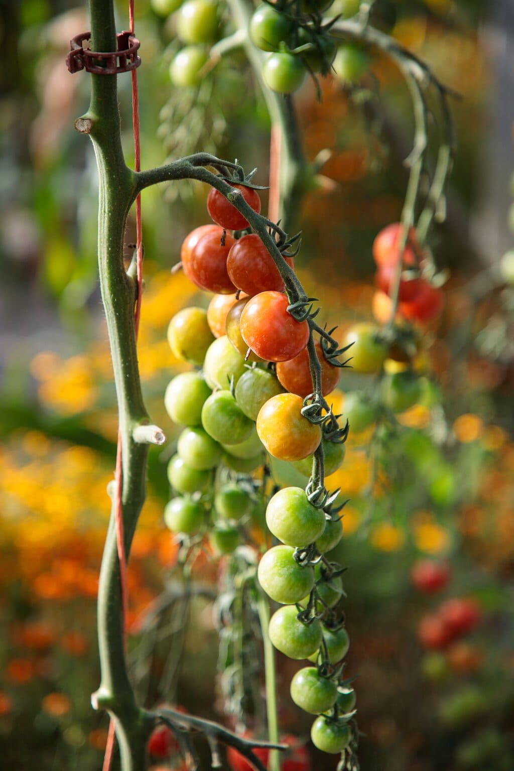 Closeup photo of tomatoes on the vine in the glass houses at Ballymaloe Farm.