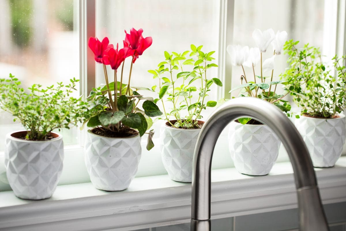 Image of cyclamens and herbs on a white window sill.