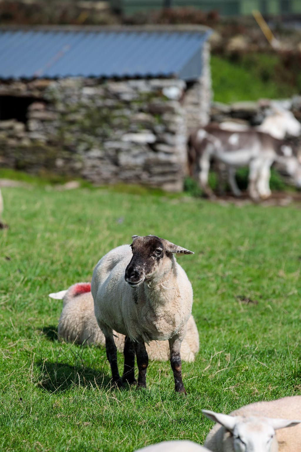 Sheep in a pasture in the Dingle Peninsula, Ireland.