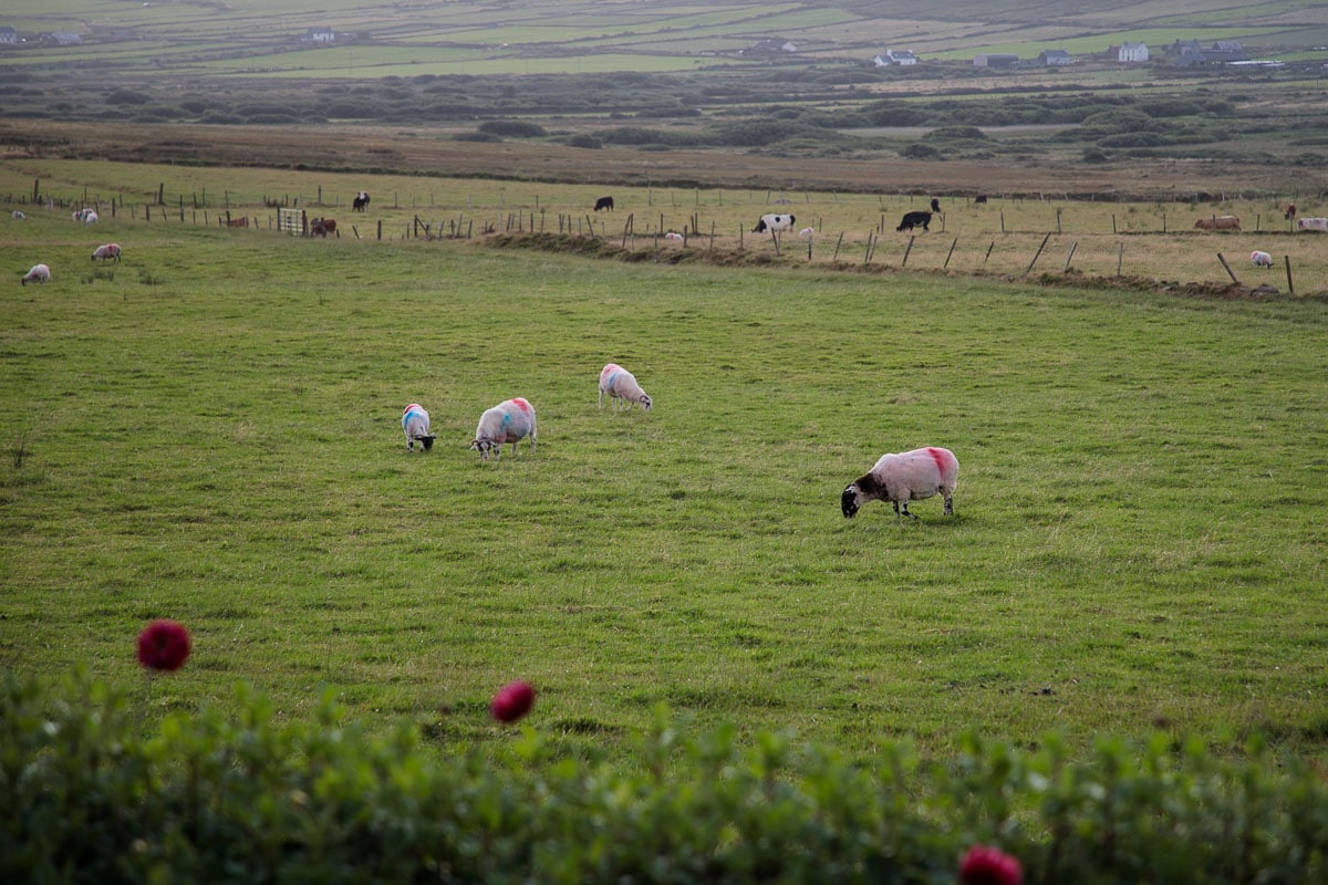 Sheep grazing in the pasture in the Dingle Peninsula, Ireland.