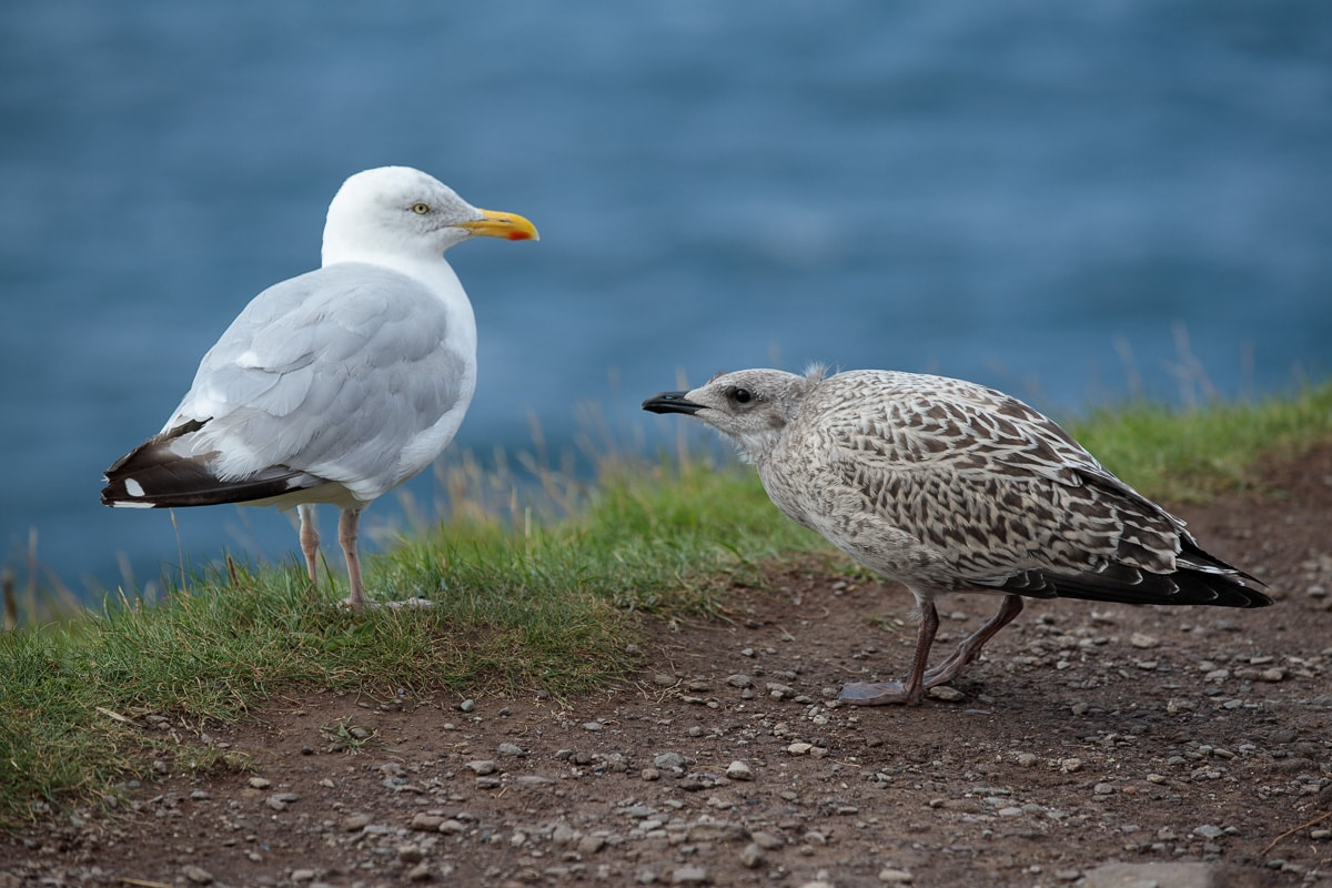 Photo of sea gulls along the Dingle Peninsula seacoast in Ireland.