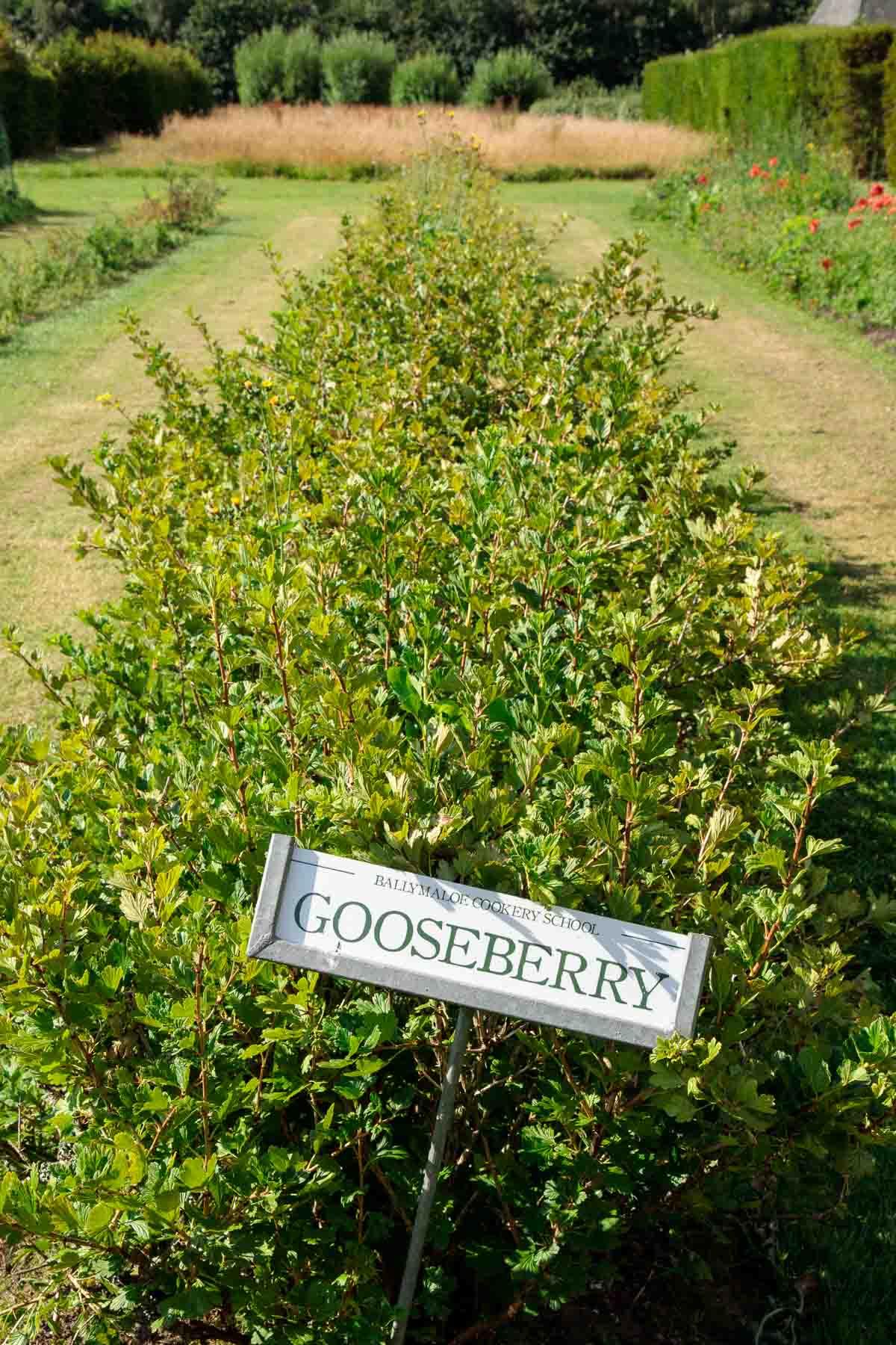 Photo of a row of gooseberry plants at Ballymaloe Farm.