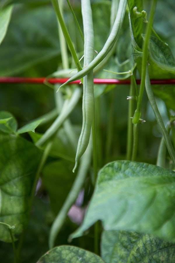 Closeup photo of Green Beans from the garden used to make a Green Bean Caprese Salad