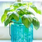 Rooting Basil from Cuttings