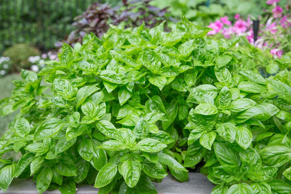 how to grow holy basil from cuttings