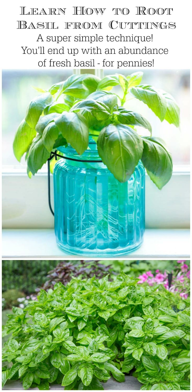 Learn this easy way to root basil from cuttings. It's a great way to stretch your herb budget and have a bountiful supply of fresh basil! #growingfreshbasil #growingbasil #howtogrowbasil #howtorootbasil #rootingbasil #basilpropagation
