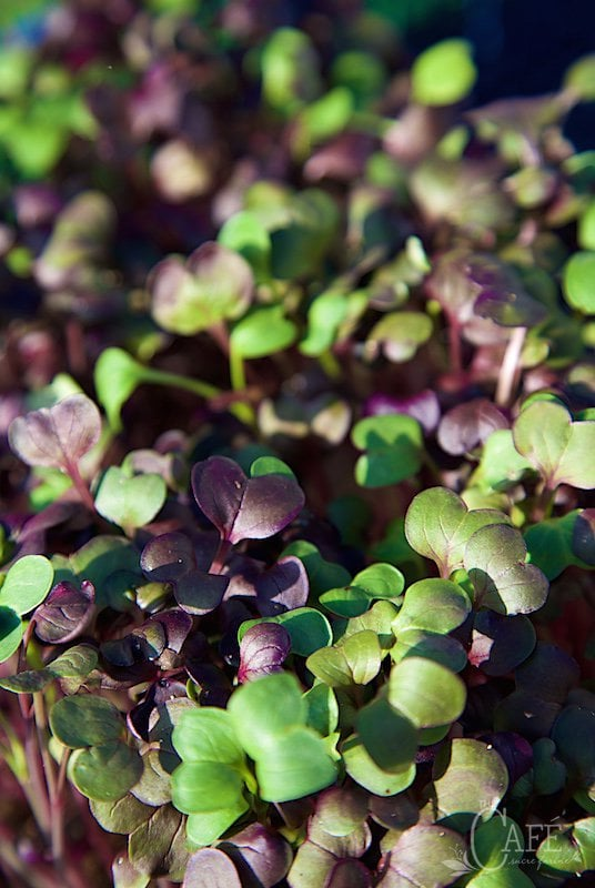 London Life - The microgreens