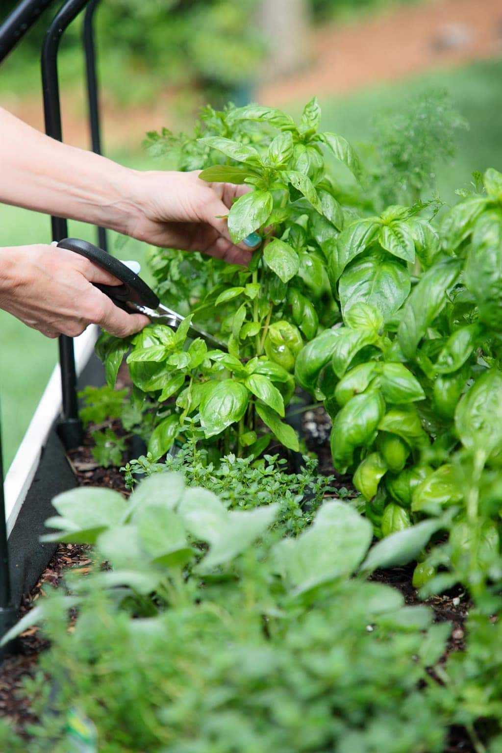 Vertical photo of a Veg Trug filled with summer herbs and a person taking cuttings from the herbs.