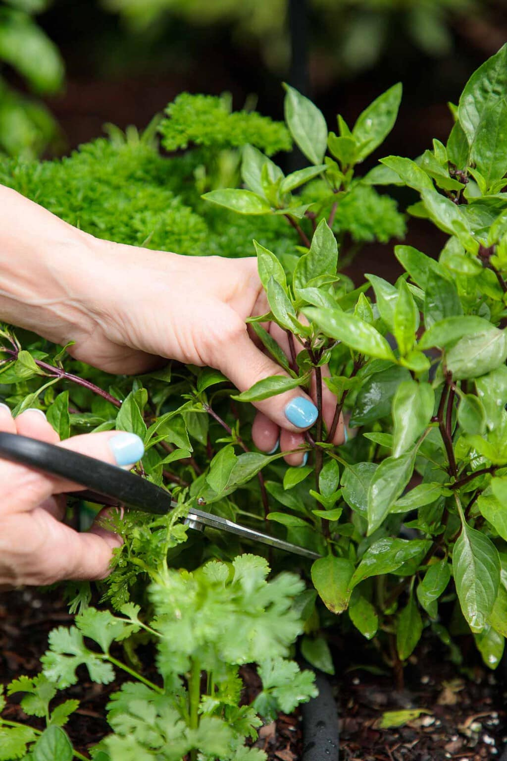 Closeup of cutting fresh herbs for the My Favorite Trick for Summer Herbs blog post.