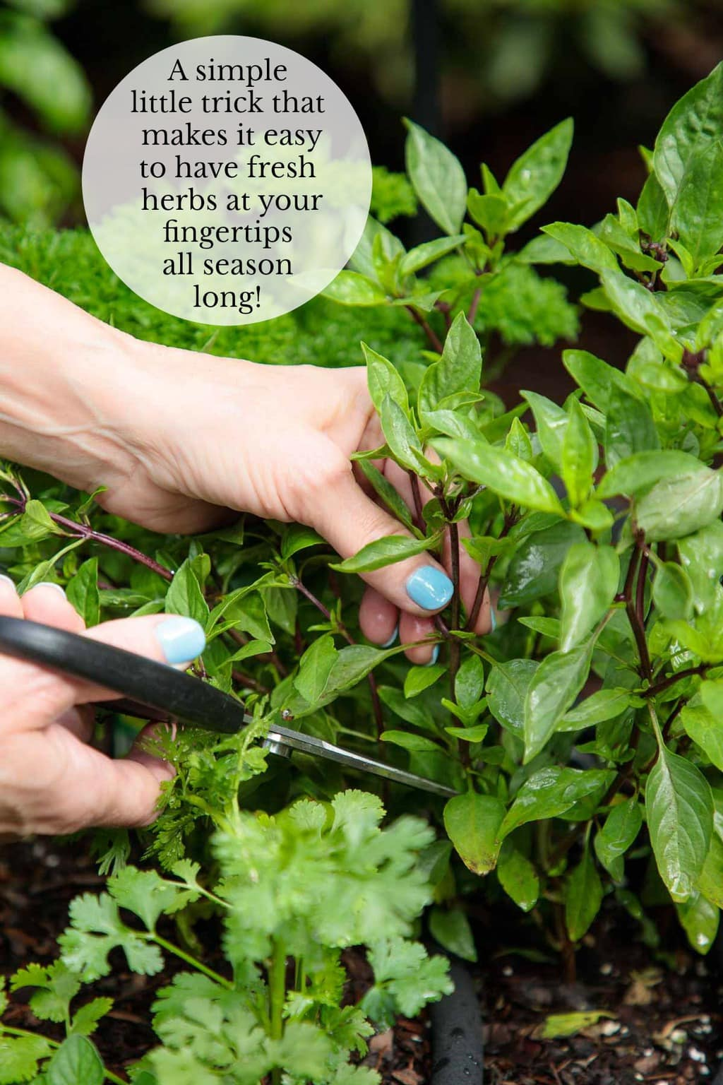 This simple little trick will save you lots of steps and make it super easy to always have fresh summer herbs at your fingertips all season long! #freshherbs, #summerherbs, #freshherbtricks