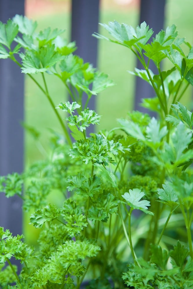 A closeup photo of a curly parsley plant with a deck railing in the background.