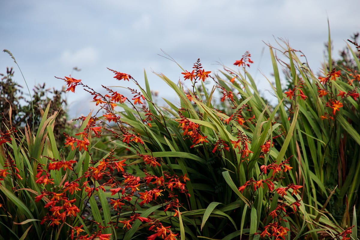 Photo of flowers along the roadside in Dingle Peninsula.