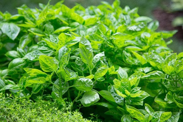 A closeup photo of basil and thyme in Scott's raised bed garden.