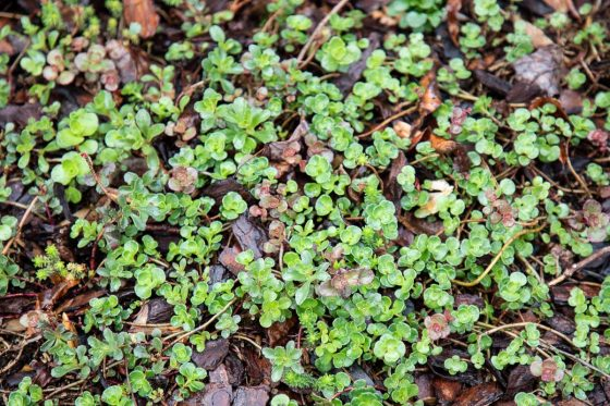Horizontal nature photo of spring growth of ground cover plants.