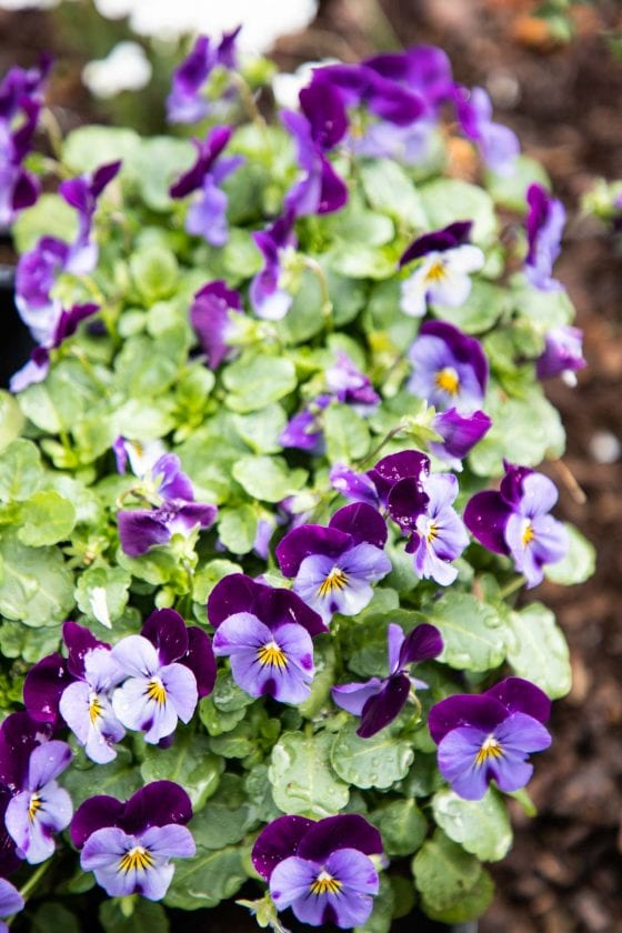 Vertical nature photo of a grouping of pansy plants.