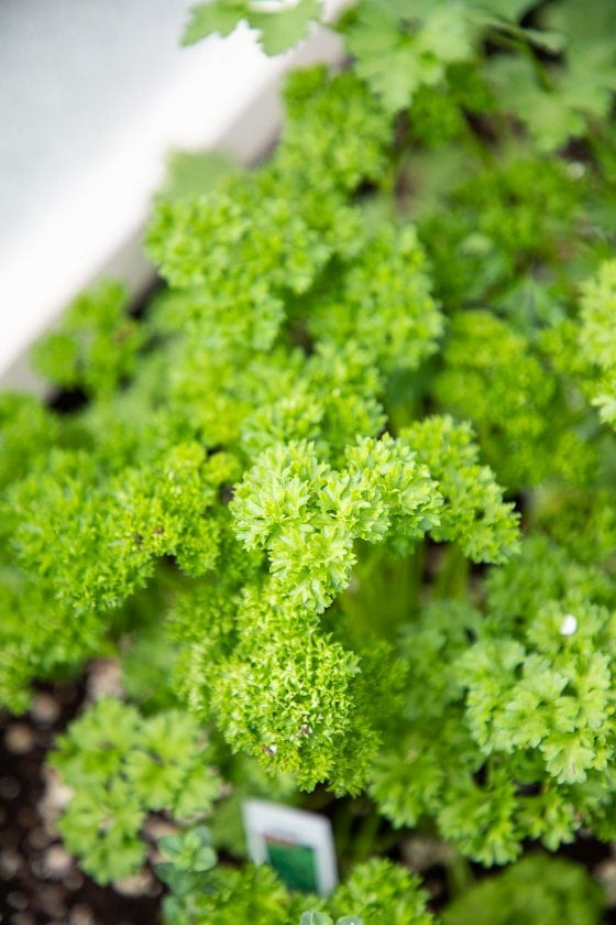 Closeup vertical photo of a curly parsley plant.